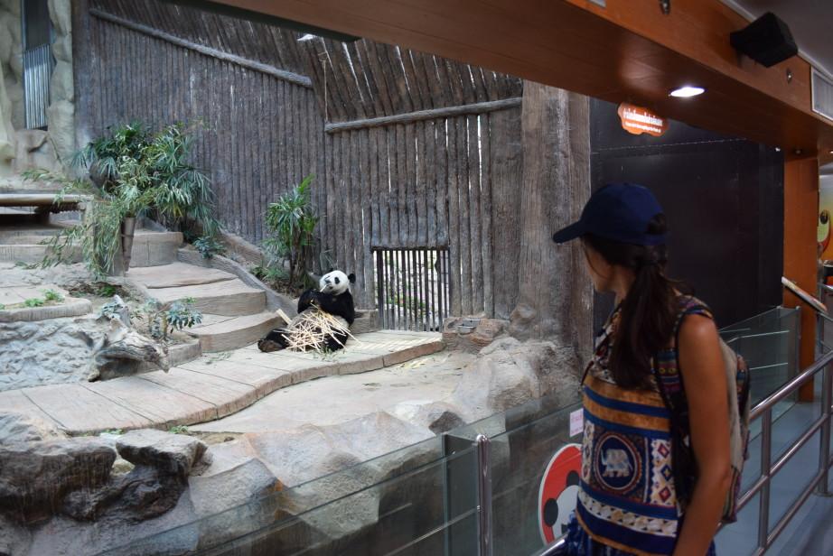 панда фото животного Chuang - Chuang и Lin - Hui